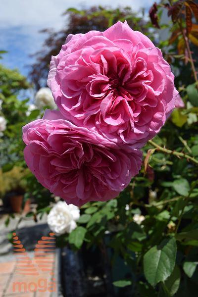 """vrtnica """"Gertrude Jekyll"""""""