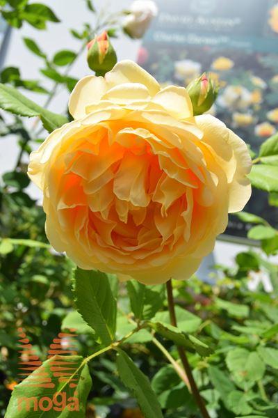 "vrtnica ""Golden Celebration"""