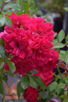 "vrtnica ""Red Fairy"""