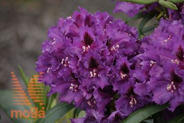 "rododendron ""Mogambo"""