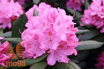 "rododendron ""English Roseum"""