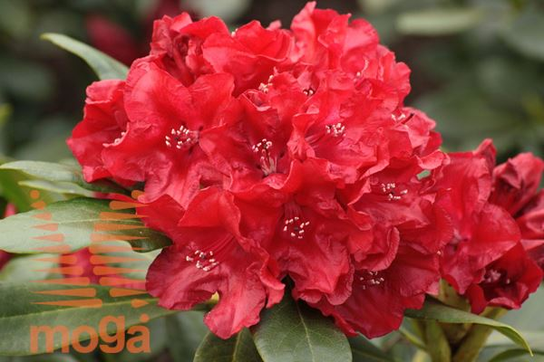 "rododendron ""Small Wonder"""
