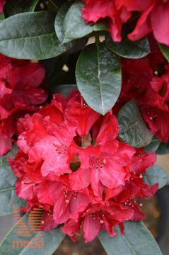 """rododendron """"Lisetta"""""""