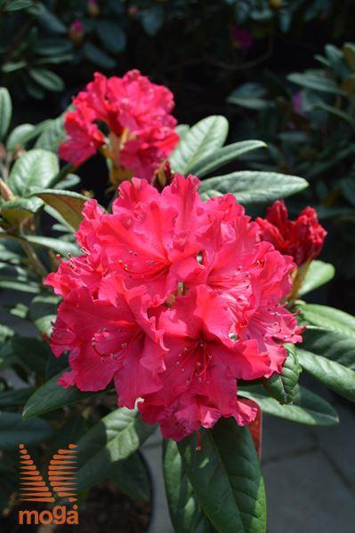 """kavkaški rododendron """"Weinlese"""""""