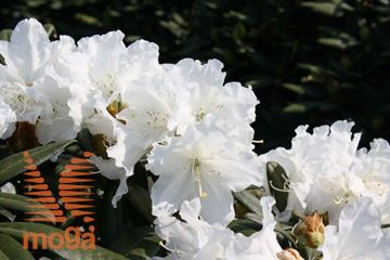 """rododendron """"Minas Snow"""""""