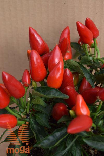 okrasna paprika
