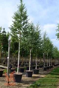 navadna breza