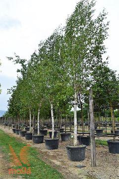 "himalajska breza ""Doorenbos"""