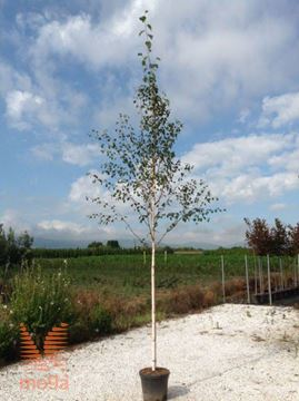 jacquemontova himalajska breza