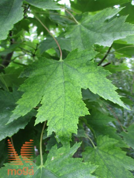 "jesenovec javor ""Argenteovariegatum"""