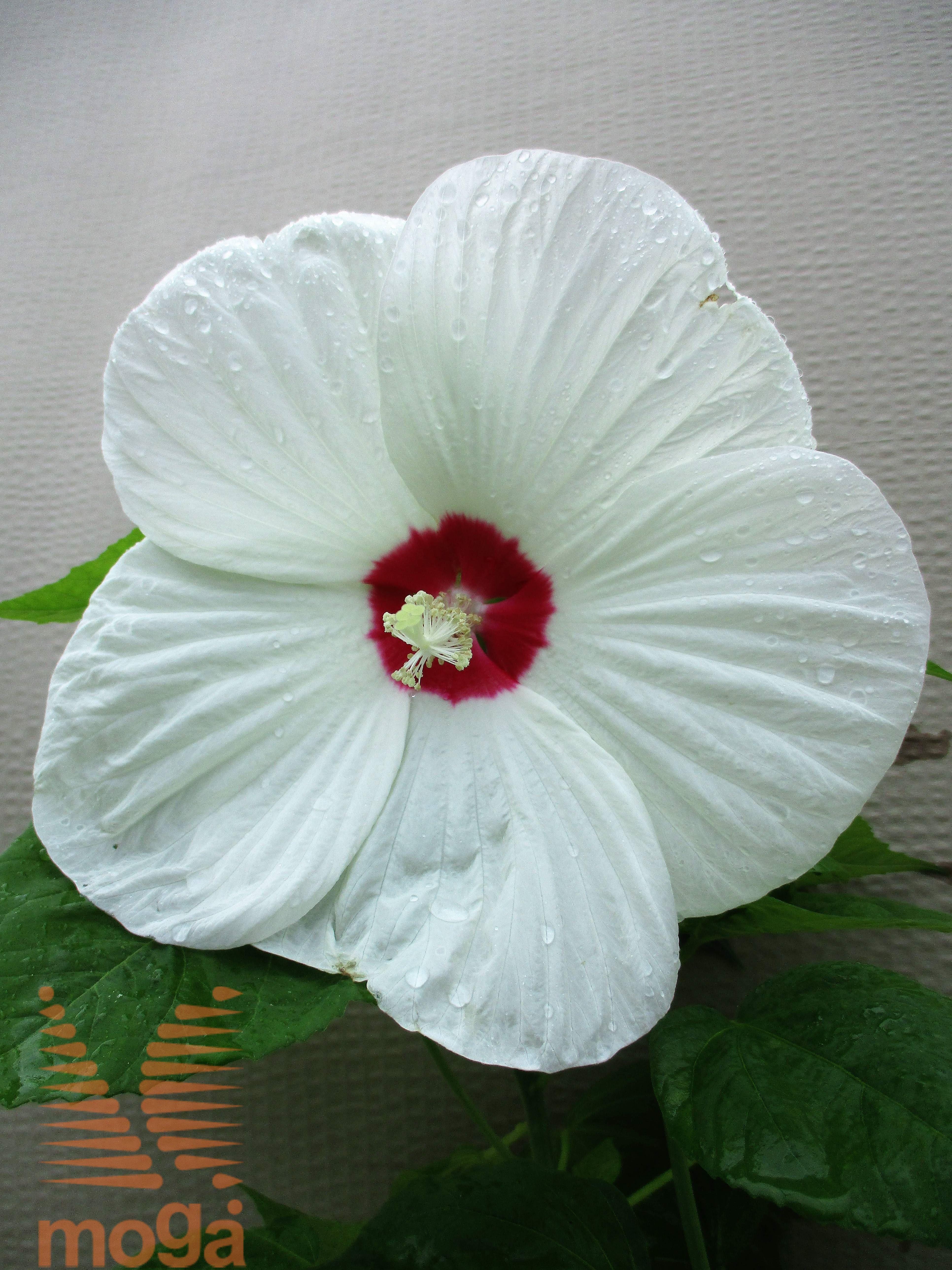 Hibiscus Moscheutos Luna White Vrtni Center Moga
