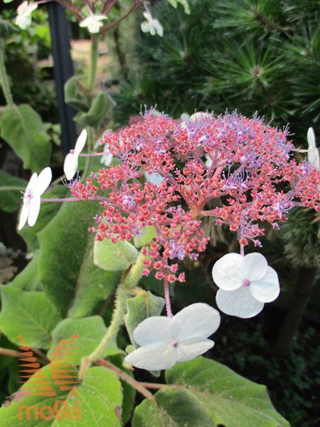"""srhkodlakava hortenzija """"Macrophylla"""""""