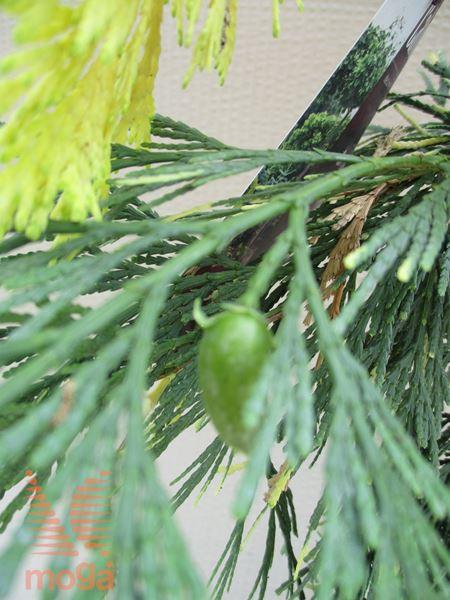 "kalifornijska libocedra ""Aureovariegata"""