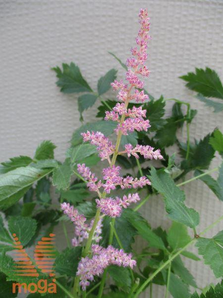 "vrtna kresnica ""Vision in Pink"""