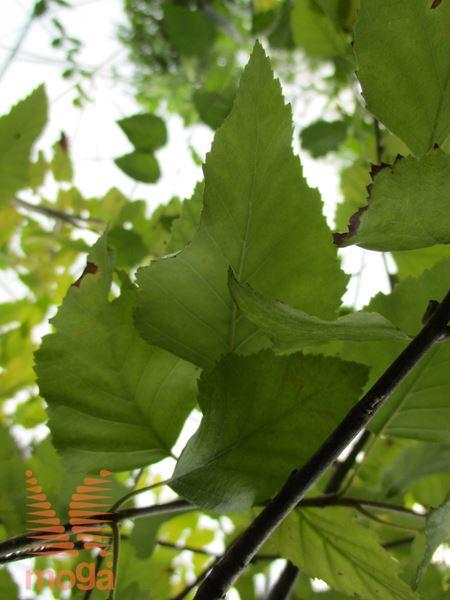 črna breza