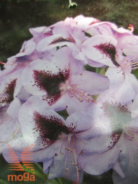 "rododendron ""Hachmann's Metallica"""