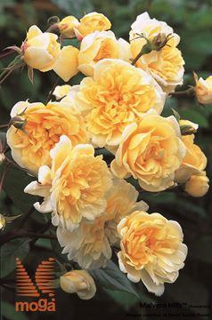 "vrtnica ""Malvern Hills"""
