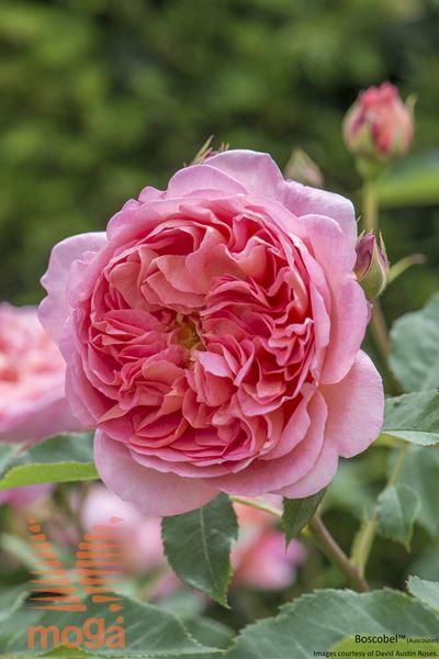 """vrtnica """"Boscobel"""""""