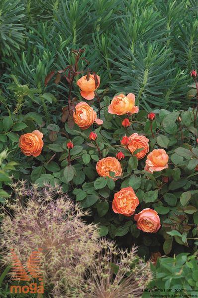 "vrtnica ""Lady Emma Hamilton"""