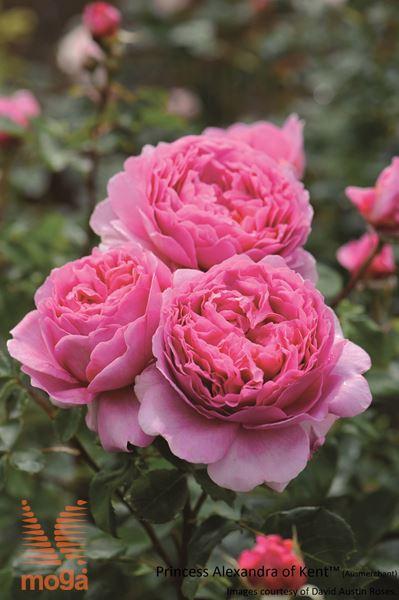 "vrtnica ""Princess Alexandra of Kent"""