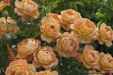 """vrtnica """"Lady of Shalott"""""""