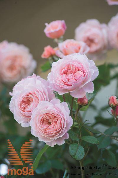 "vrtnica ""A Shropshire Lad"""