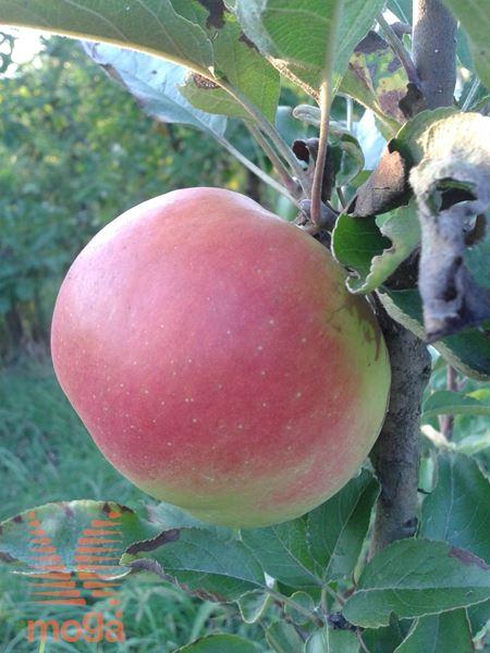 """jablana """"Carjevič"""""""