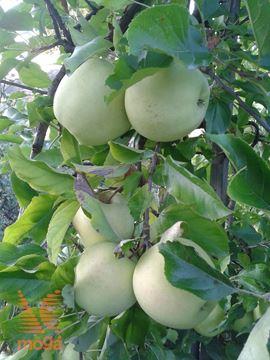 """jablana """"Zlati delišes"""""""
