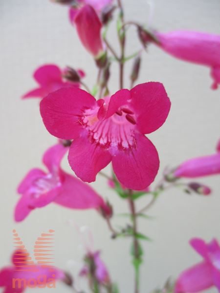 "penstemon ""Garnet"""