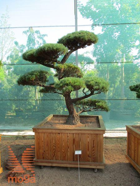 japonski petiglični bor