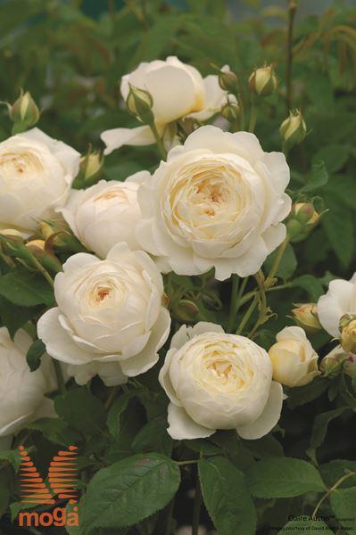 """vrtnica """"Claire Austin"""""""