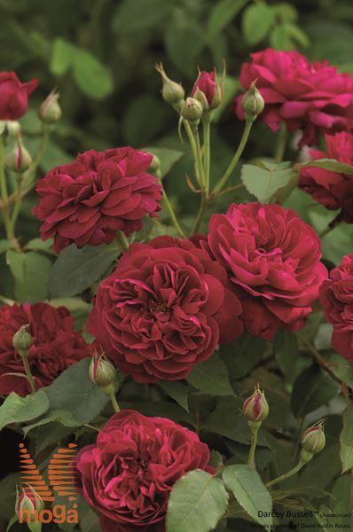 """vrtnica """"Darcey Bussell"""""""
