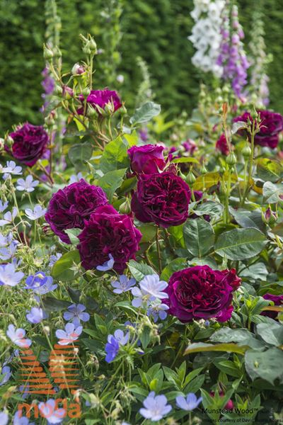 """vrtnica """"Munstead Wood"""""""