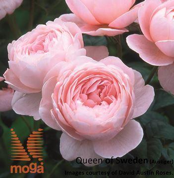 """vrtnica """"Queen of Sweden"""""""