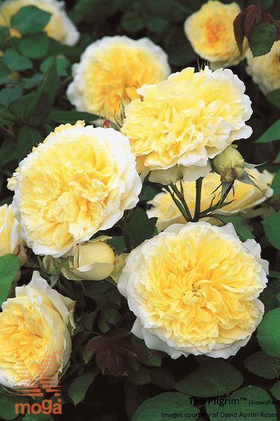"vrtnica ""The Pilgrim"""