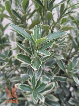 """japonska trdoleska """"Microphyllus Albovariegatus"""""""