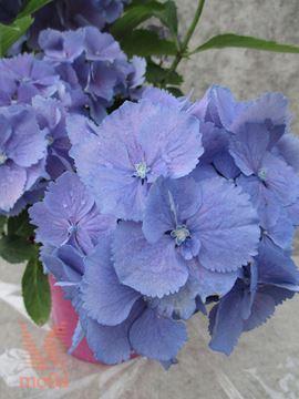 "velikolistna hortenzija ""Everbloom Blue Wonder"""