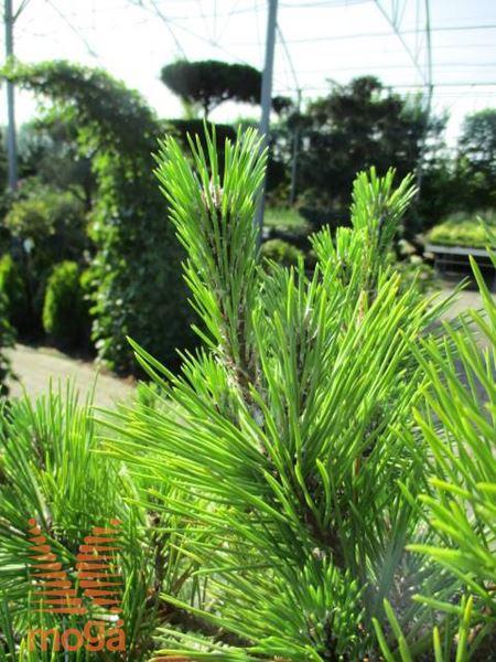 Pinus thunbergii Japanische Schwarz-Kiefer Sayonara 30-40cm