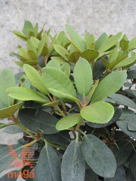 """rododendron """"Silberwolke"""""""