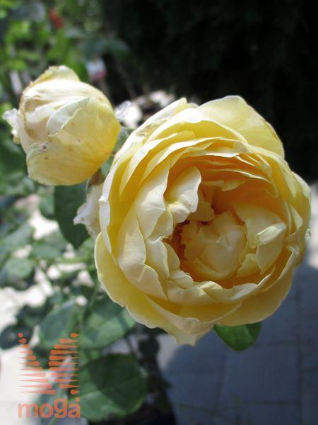 "vrtnica ""Charlotte"""