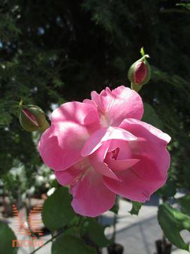"""vrtnica """"Mary Rose"""""""