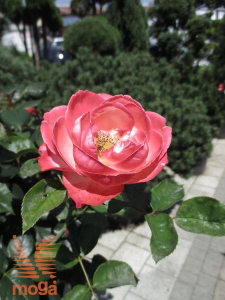 """vrtnica """"Nostalgie"""""""