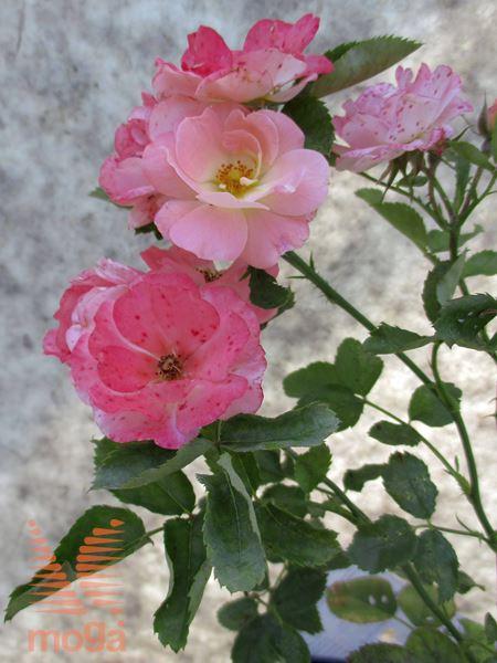 "vrtnica ""Peach Drift"""