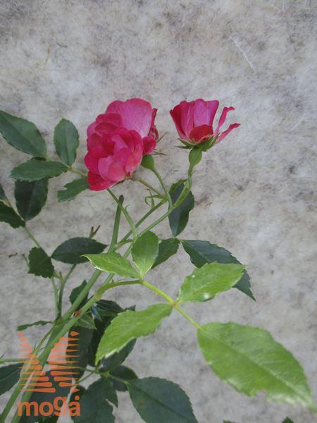 """vrtnica """"Red Drift"""""""