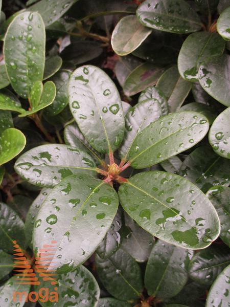 """rododendron """"Rotkäppchen"""""""