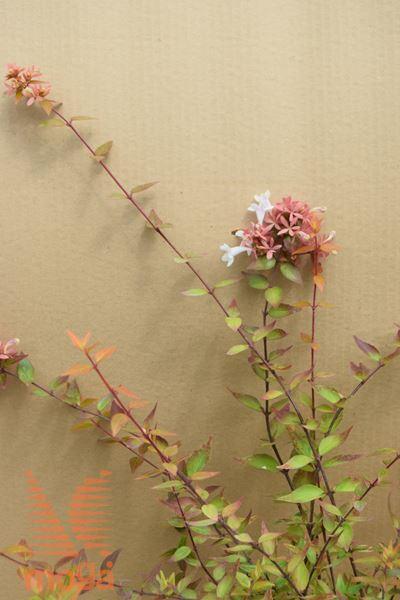 "velikocvetna abelija ""Kaleidoscope"""