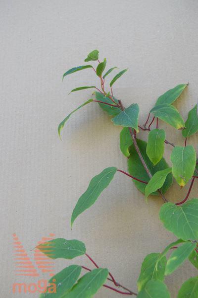 "drobnoplodni kivi ""Weiki + Ananasnaya"""
