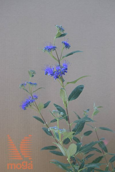 "bradatec ""Kew Blue"""