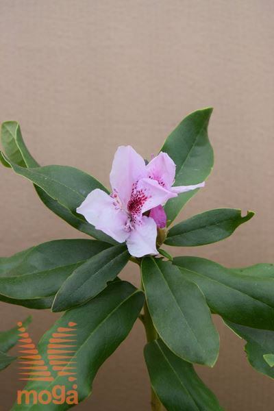 "rododendron ""Cheer"""