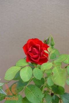 "vrtnica ""Black Forest Rose"""